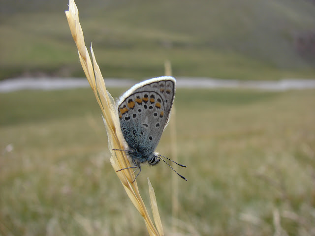 Polyommatus eros vasilyi TSHIKOLOVETS, 1995. Kara Say (3550 m), Mts Mts Borkoldoy (Koksaal Alatau), Kirghizstan, 12 juillet 2006. Photo : E. Zinszner