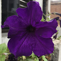 Petunia (purple)