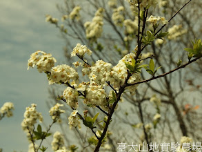 Photo: 拍攝地點: 翠峰-三角峰步道頂 拍攝植物: 笑靨花 拍攝日期:2012_03_02_FY