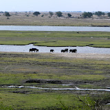Elephants on the banks of the Chobe river