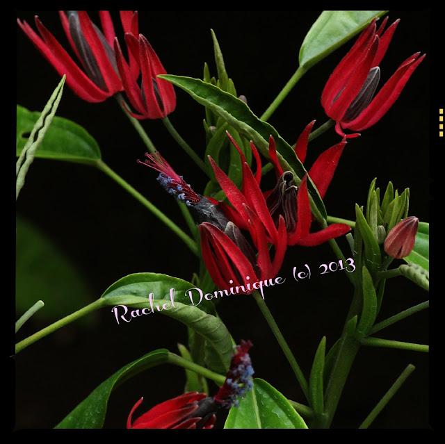 An exotic looking dark red bloom