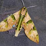 Sphingidae : Macroglossinae : Eumorpha capronnieri (Boisduval, 1875), mâle. San Juan, près de Caranavi, 1000 m (Yungas, Bolivie), 22 décembre 2014. Photo : Jan-Flindt Christensen