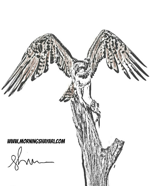 Nature Sketches, Nature Photography, Bird, Eagle, Falcon, Hawk, Drawing, flying Bird, Image, Bird Photography