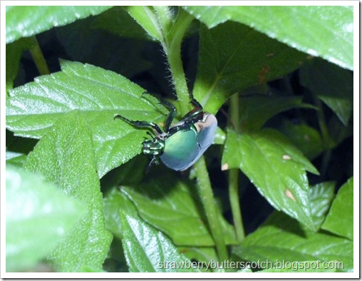 June Bug Climbing on a Leaf