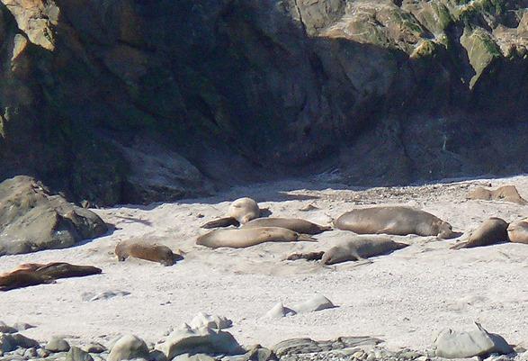 Elephant Seals w Pups