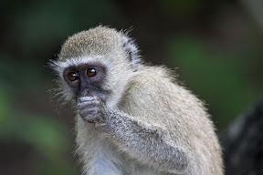 Vervet Baby, Botswana