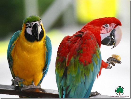 animals_parrots_001_1280x960