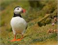 papuchalk bělobradý