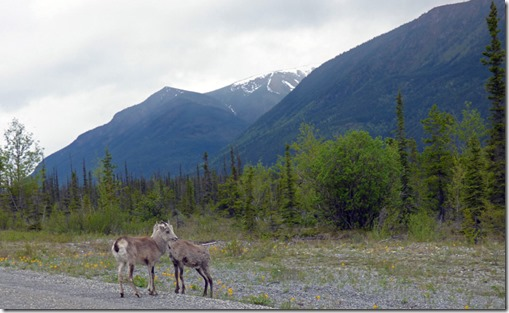 Stone Sheep, Alaska Highway