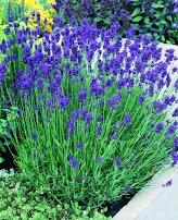 Hoa oải hương xanh F1