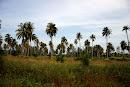 Suolaveden runtelemia palmuja