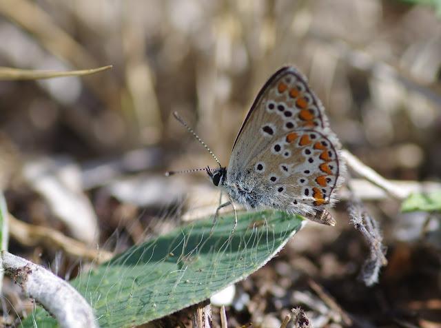Aricia agestis (Denis & Schiffermüller, 1775), ♀. Les Hautes-Courennes, Saint-Martin-de-Castillon (Vaucluse), 15 juin 2015. Photo : J.-M. Gayman