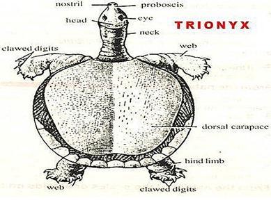 trionyx-turtle-tortoise
