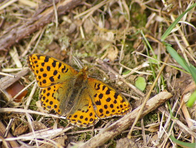 îssoria lathonia L., 1758, femelle. Les Hautes-Lisières (Rouvres, 28), 22 septembre 2011. Photo : J.-M. Gayman