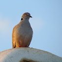 White-winged Collared Dove