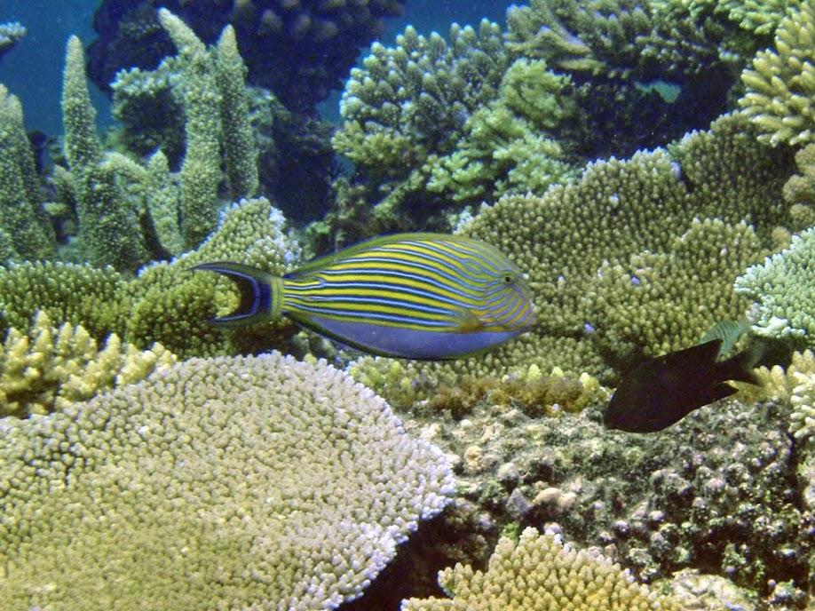 Acanthurus lineatus (Clown Tang), Naigani Island, Fiji.
