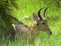 Reedbok - Okavango Delta