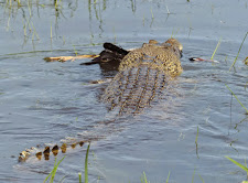 This medium sized croc has just caught a magpie goose. He is not interested in sharing it with us!
