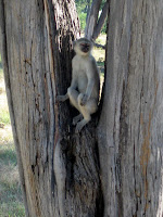 Vervet Monkey - Linyanti Concession (Chobe Region)