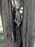 Vervet Monkey - Linyanti Concession (Chobe Region)