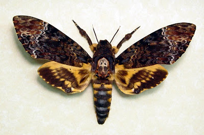 Resultado de imagem para imagens da mariposa