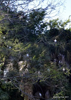 Ibis in the trees