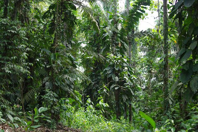 Biotope de Morpho cypris chrysonicus. La forêt au sud de Selva Alegre (San Lorenzo, Esmeraldas), 28 novembre 2013. Photo : J.-M. Gayman