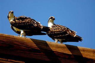 Two young osprey on top of the hack tower.