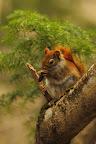 UN P'TIT CIGARE Écureuil roux décortiquant une pomme de pin