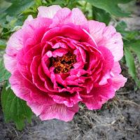 Peony Showgarden 17-05-2015 055