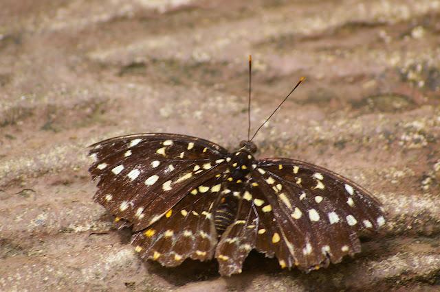 Lexias pardalis MOORE, 1878, femelle. Poring (Sabah, Malaisie, Bornéo), 31 juillet 2011. Photo : J.-M. Gayman