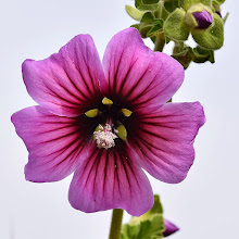 Photo: Lavatera arborea, malvone maggiore, tree mallow
