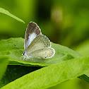 Summer Azure Butterfly