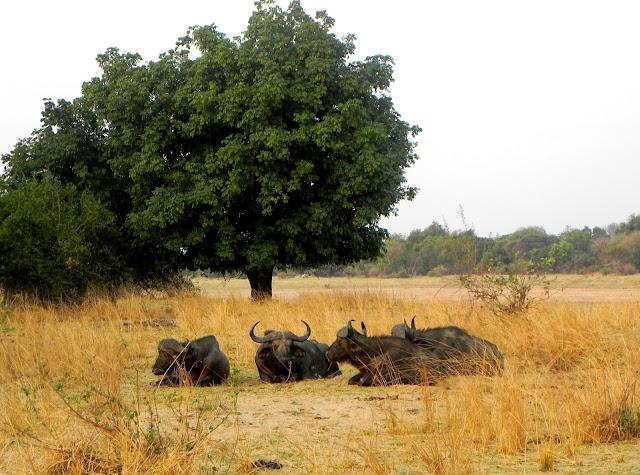 أفضل ما في أفريقيا  Best of Africa Cape%252520buffalo