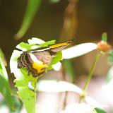 Adelpha cocala cocala (CRAMER, [1779]). Patawa (Montagne de Kaw), 24 octobre 2012. Photo : J.-M. Gayman