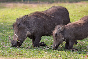 Female and Juvenile Warthogs, South Africa