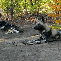 Tuli Block - Wild African Dogs