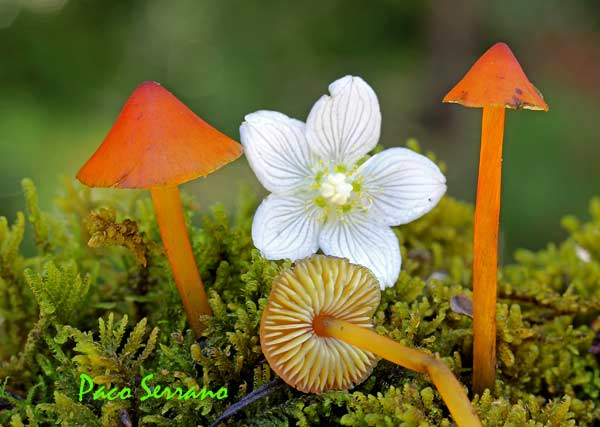 Hygrocybe conica
