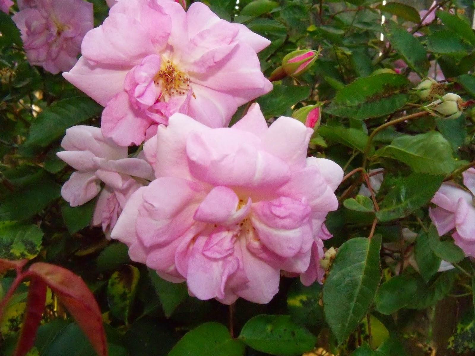 Gardening 2015 - 116_7649.JPG