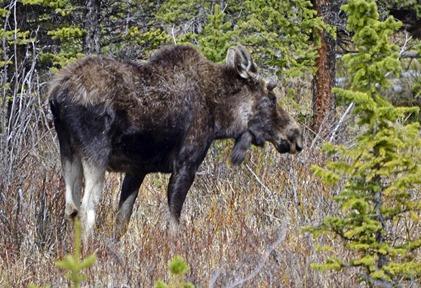 Bighorn Bull Moose