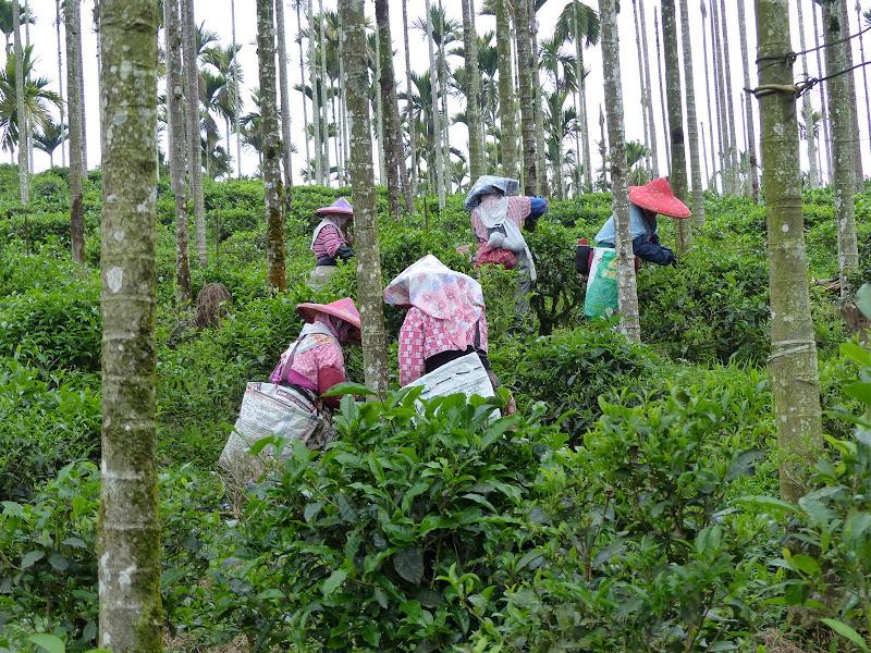 Puli, Nantou county, cueillette de thé - P1050534.JPG