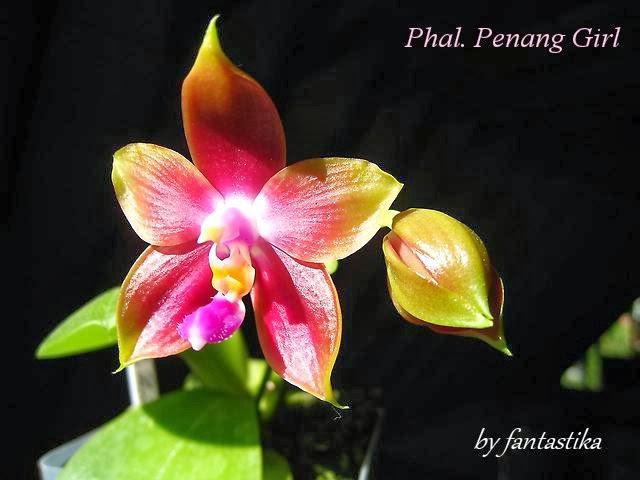 Phalaenopsis Penang Girl Phal.%2520Penang%2520Girl%2520%25281%2529