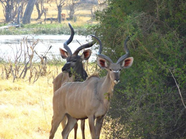 Kudu seen at Moremi