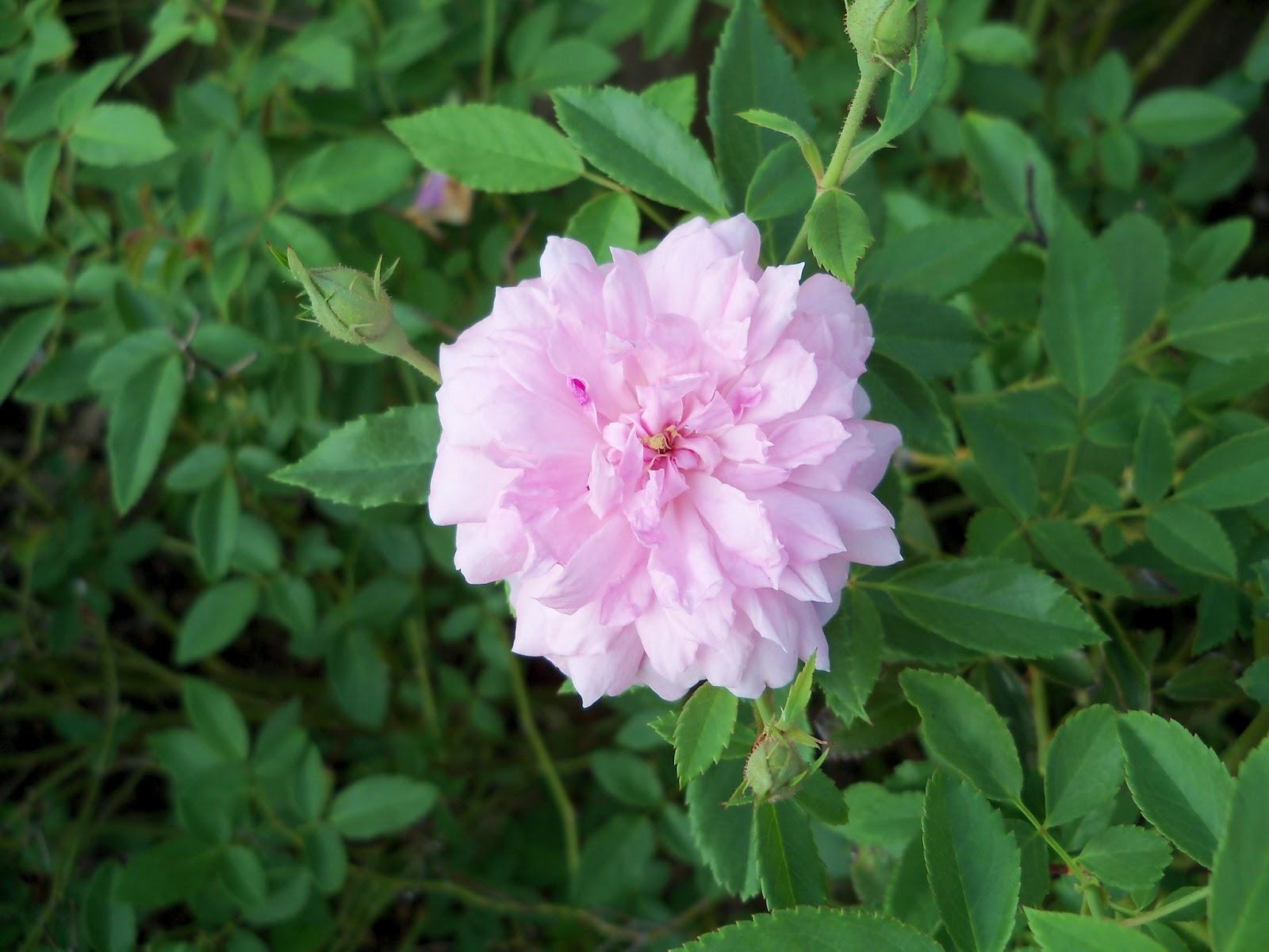 Gardening 2011 - 115_0450.JPG