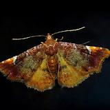 Noctuidae : Acontiinae : Corgatha omopis MEYRICK, 1902. Umina Beach (N. S. W., Australie), 24 décembre 2011. Photo : Barbara Kedzierski