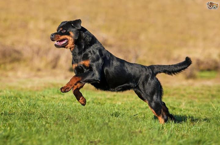 chó rottweiler đẹp nhất. Chó Rottweiler thuần chủng