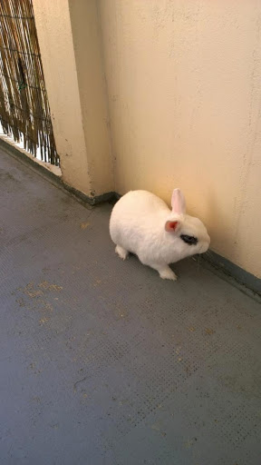 Meiko, lapin blanc à l'oeil au beurre noir!-[adopté] Img_1426612188_28