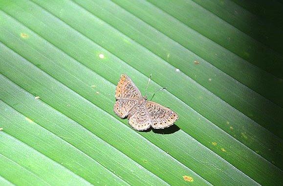 Detritivora gallardi HALL & HARVEY, 2001, femelle. Saül, novembre 2012. Photo : M. Belloin