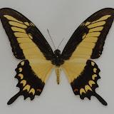 Papilio (Heraclides) astyalus astyalus (GODART, 1819). Rio Quiquibey (Beni, Bolivie), 28 octobre 2012. Photo : C. Basset
