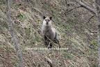 2009/4/20 鹿島槍集落手前の道路脇たった、10キロ離れただけで、こんなにも白く模様の違うカモシカがいる。まあ、もともとカモシカは地域差が大きいと言われているが、千年の森自然学校のカモシカばかり見ていると、みんなそっくりなので、ちょっと離れるとびっくりしてしまう。